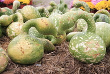 Autumn Goose Gourds At A Farm Stand