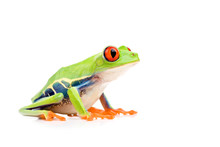 Red-eyed Tree Frog Isolated On...