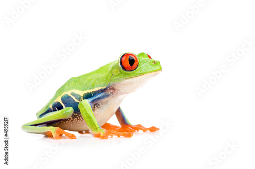 In de dag Kikker red-eyed tree frog isolated on white