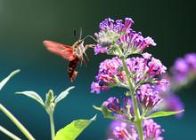 Common Clearwing Hummingbird Moth