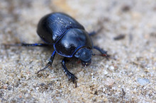 Blue Bloody-nosed Beetle