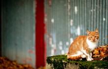 Little Orange Barn Kitten