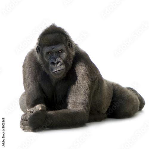 Obraz na plátně  Young Silverback Gorilla