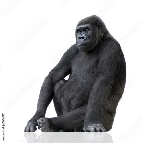 Fototapeta  Young Silverback Gorilla