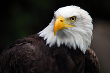 American Bald Eagle (Haliaeetu...