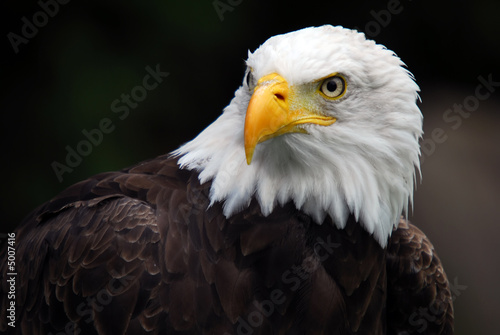 Tablou Canvas American Bald Eagle (Haliaeetus leucocephalus)