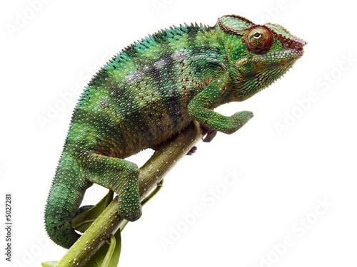 In de dag Kameleon caméléon