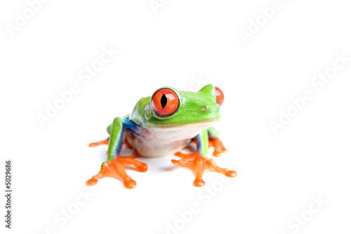Tuinposter Kikker red-eyed tree frog isolated on white