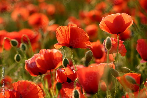 Obraz Sommer - Mohn Close-Up - fototapety do salonu
