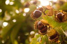 Branch Of Chesnuts