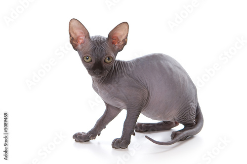 Sphynx kitten - Buy this stock photo and explore similar