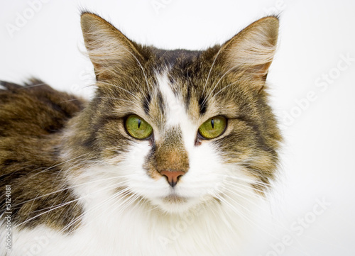 Foto auf Acrylglas Katze cat isolated on a white background