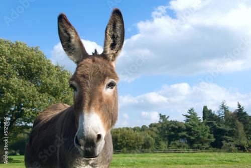 Fotografia Donkey - Esel