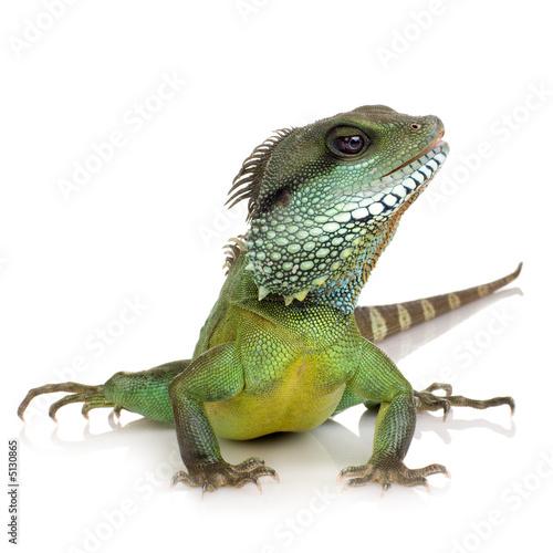 Photographie  Dragon d'eau indien - Physignathus cocincinus