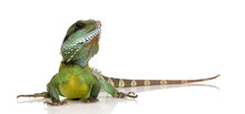Indian Water Dragon - Physigna...