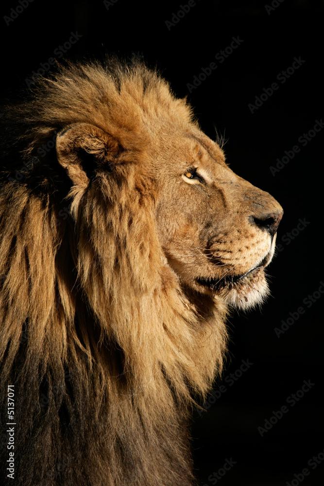 Fototapeta Big male African lion (Panthera leo)