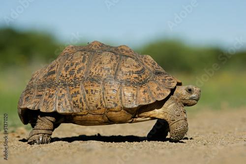 Poster Tortue Mountain tortoise (Geochelone pardalis)