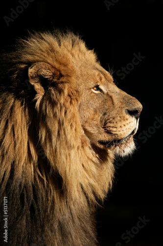 Canvas Print Big male African lion (Panthera leo)