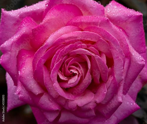 Photo sur Aluminium Macro Rose