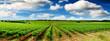 canvas print picture - Green Vineyard Landscape