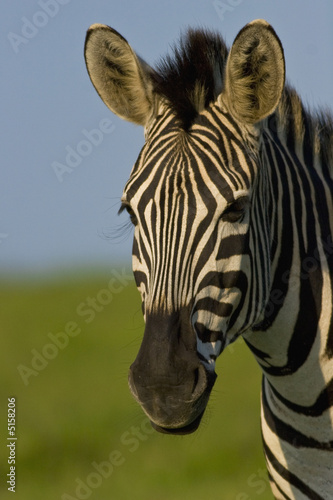 Photo Stands Zebra Burchells Zebra portrait