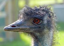 Bad Hair Day Emu