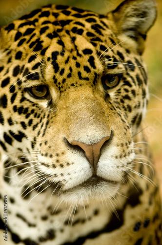 Poster Leopard Jaguar - Panthera onca