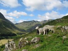 Sheep On Helvellyn