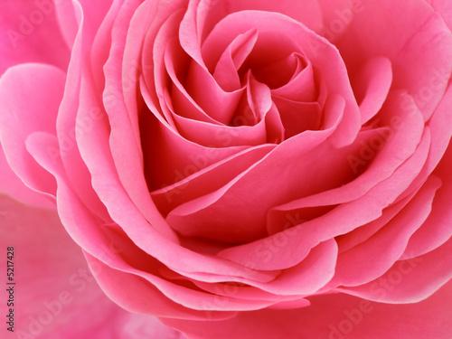 Fotobehang Macro pink rose