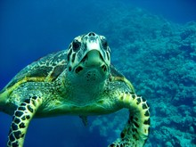Carretta Schildkröte
