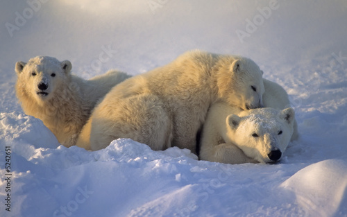 Polar bear with her cubs Canvas Print
