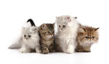 Four Little Persian Kittens