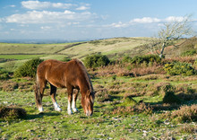 New Forest Pony Grazing In The Evening Sun