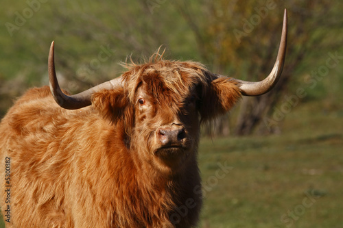Spoed Fotobehang Schotse Hooglander A large bull