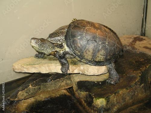 Fotografie, Obraz  turtle on the stone