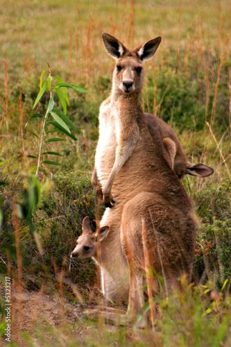 Spoed Fotobehang Kangoeroe Kangaroo..