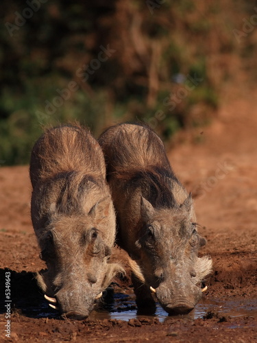 Two Young Warthogs (Phacochoerus africanus) Wallpaper Mural