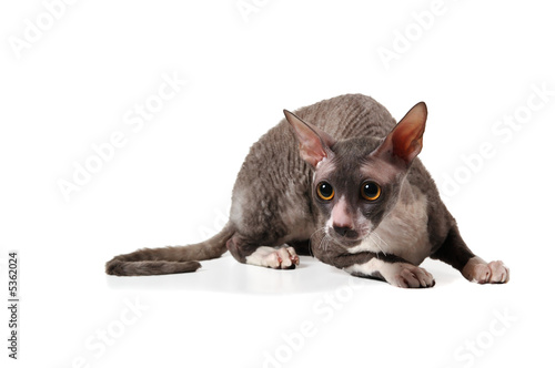 Fotografía grey cornish rex cat on white background with shadow