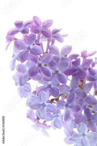 Fotobehang Lilac Common lilac flower detail (Syringa vulgaris)