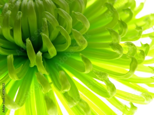 Fotobehang Macro Close-up of colourful green aster to be used as a background