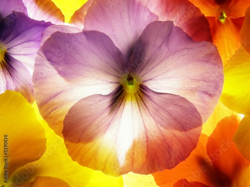 Fotobehang Macro close-up of colourful viola tricolor against white background