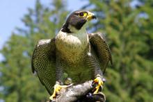 Falke Auf Jagd