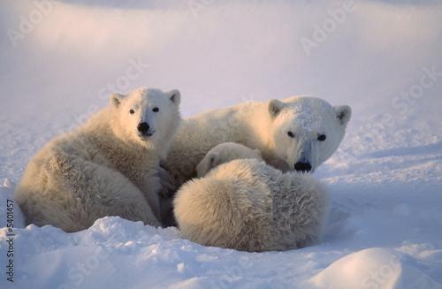 Recess Fitting Polar bear Polar bears,female cub is nursing . Canadian Arctic