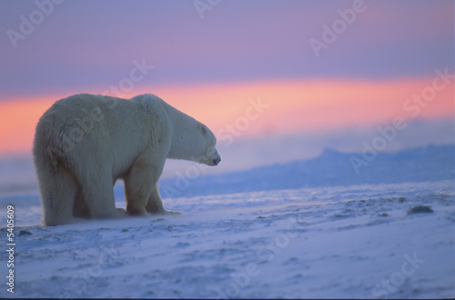 Photo Polar bear at sunset. Canadian Arctic.