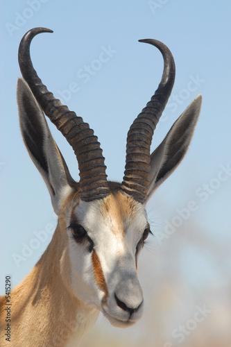 Foto op Plexiglas Antilope Springbok
