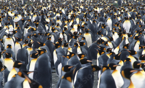 Close up of  a king penguin colony in Salisbury Plain