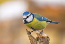 Blue Tit (aka Parus Caeruleus) On White-orange Background