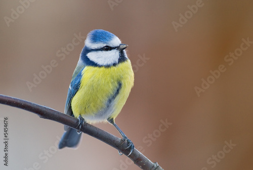 blue tit (aka parus caeruelus) on brown background Fototapete