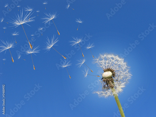 In de dag Paardebloem Pusteblume im Wind