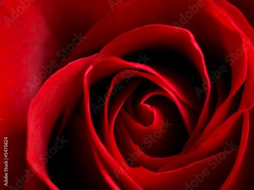 rose #5470624